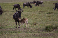 A young gnu calf diking Royalty Free Stock Photography