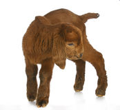 Young goat. Baby goat or kid standing with reflection on white background - south african boer kalahari purebred Royalty Free Stock Image