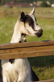 Young goat Stock Photography