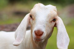 Young Goat. Looking directly into the camera. Focus is on the eyes royalty free stock photos