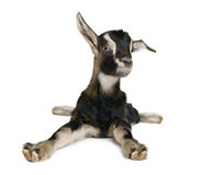 Young Goat (3weeks old) Stock Photos