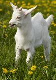 Young goat. On flowery grass field Stock Photos