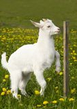 Young goat. On flowery grass field Royalty Free Stock Image