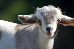 Free Young Goat Royalty Free Stock Photos - 66228858