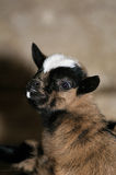 Young goat. Who looks scared Royalty Free Stock Photography