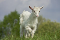 Young goat Stock Image