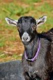 Young Goat Stock Photos