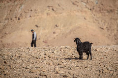 Young goat in Atlas Mountains, Morocco stock image