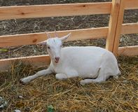 Young goat in the aviary. Young goat sitting in an aviary in the hay stock photo