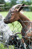 Young goat behind a gate Stock Photography