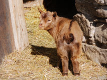Young goat with brown fur standing outside the barn. In a sunny spring day Royalty Free Stock Photo