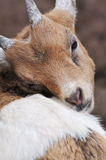 Young goat. Young brown goat in the petting zoo Royalty Free Stock Photography