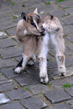 Young goat. A young goat chewing his tail Royalty Free Stock Images