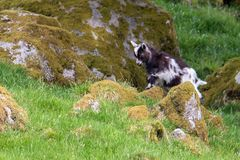 A young goat climbs onto a moss covered rock in Southern Scotlan royalty free stock image