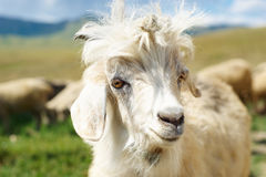 Young goat close up. Young goat with a prickle Stock Photos
