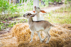 Young goat. Close up young goat playing on dry pangola grass in farm Royalty Free Stock Images