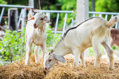 Young goat. Close up young goat playing and eating dry pangola grass in farm Stock Photography