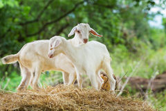 Young goat. Close up young goat playing and eating dry pangola grass in farm Royalty Free Stock Images