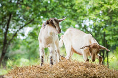 Young goat. Close up young goat playing and eating dry pangola grass in farm Stock Photos