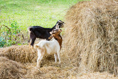 Young goat. Close up young goat playing and eating dry pangola grass in farm Stock Photo