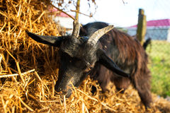 Young goat eating dry straw in farm. Close up young goat eating dry straw in farm Stock Photography