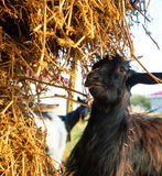 Young goat eating dry straw in farm Royalty Free Stock Image