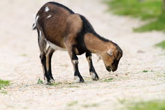 Young goat eating grass on farm alley Royalty Free Stock Photo
