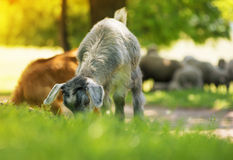Young  goat eating grass in summer time Stock Images