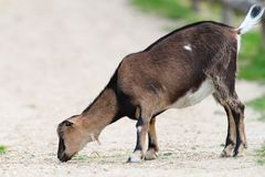 Young goat eating on gravel Stock Photo