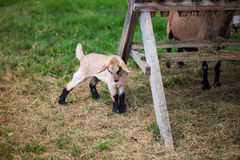 Young goat in the enclosure, goat eating grass. Nobody Royalty Free Stock Image