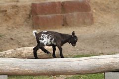 Young goat equilibrium exercise Stock Photography