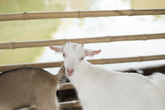 Young goat in farm. Royalty Free Stock Images