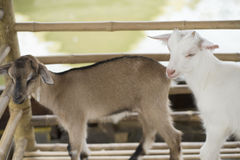 Young goat in farm. Royalty Free Stock Photography