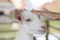 Young goat in farm. Stock Photo