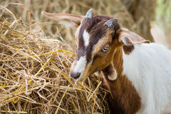 Young goat in farm. Close up young goat eating dry straw in farm from Thailand Royalty Free Stock Photo