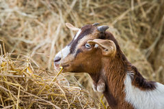 Young goat in farm. Close up young goat eating dry straw in farm from Thailand Royalty Free Stock Photos