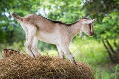 Young goat in farm. Close up young goat playing in farm from Thailand Stock Photography