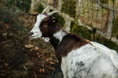 Young goat at a farm Stock Photography