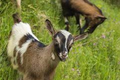 Young goat in the field Stock Photography