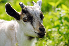 A young goat in the grass. Animals, the village, a field, the grass, agriculture, milk, animals, nature, a young goat Royalty Free Stock Photos