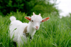 Young  goat and grass Stock Images