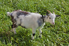 Young goat on the grass Stock Images
