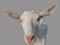 Young goat on a gray Stock Images