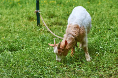 Young goat grazes stock photography