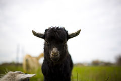 Young goat grazes in a meadow. Royalty Free Stock Images