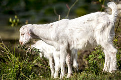 Young Goat Grazing Stock Photography