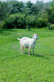 Young goat grazing on the green grass Stock Photo