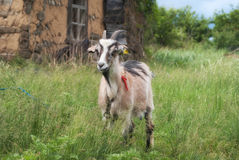 Young goat grazing on a green meadow Royalty Free Stock Image