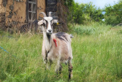 Young goat grazing on a green meadow Royalty Free Stock Photography