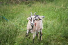 Young goat grazing on a green meadow Royalty Free Stock Images